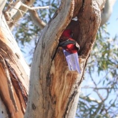 Platycercus elegans (Crimson Rosella) at Hughes Grassy Woodland - 30 Jul 2020 by JackyF