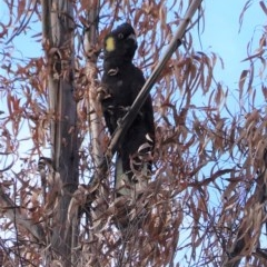 Calyptorhynchus funereus (Yellow-tailed Black-Cockatoo) at Red Hill Nature Reserve - 15 Jul 2020 by JackyF