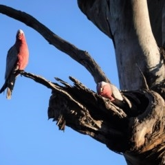 Eolophus roseicapillus (Galah) at Red Hill Nature Reserve - 29 Jul 2020 by JackyF