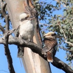 Dacelo novaeguineae (Laughing Kookaburra) at Deakin, ACT - 10 Jul 2020 by JackyF