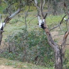 Chenonetta jubata (Australian Wood Duck) at Deakin, ACT - 11 Jul 2020 by JackyF