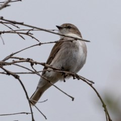 Microeca fascinans (Jacky Winter) at Namadgi National Park - 8 Aug 2020 by JohnHurrell