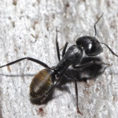 Camponotus aeneopilosus (A Golden-tailed sugar ant) at ANBG - 4 Aug 2020 by TimL