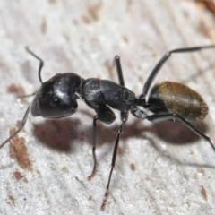 Camponotus aeneopilosus at ANBG - 4 Aug 2020