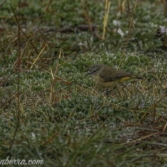 Acanthiza chrysorrhoa (Yellow-rumped Thornbill) at Goorooyarroo - 1 Aug 2020 by BIrdsinCanberra