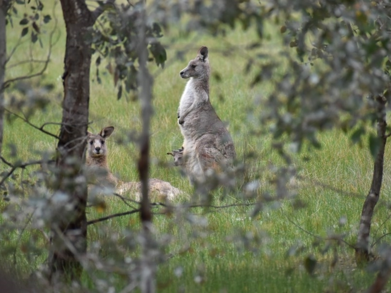 Macropus giganteus at Albury - 9 Aug 2020