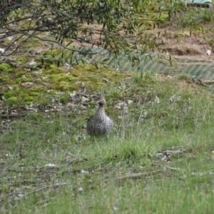 Chenonetta jubata at Albury - 9 Aug 2020