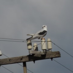 Elanus axillaris (Black-shouldered Kite) at Albury - 10 Aug 2014 by PAllen1