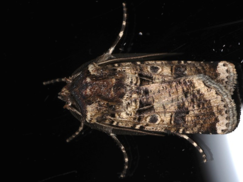 Agrotis porphyricollis at Ainslie, ACT - 27 Nov 2019