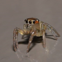 Prostheclina sp (genus) (A jumping spider) at ANBG - 9 Aug 2020 by TimL