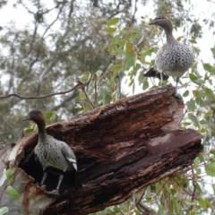 Chenonetta jubata (Australian Wood Duck) at Hughes, ACT - 9 Aug 2020 by JackyF