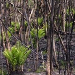 Todea barbara (King Fern) at Croajingolong National Park (Vic) - 11 Mar 2020 by Jek