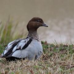 Chenonetta jubata (Australian Wood Duck) at Hume, ACT - 9 Aug 2020 by RodDeb