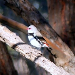 Stagonopleura guttata (Diamond Firetail) at Albury - 12 Jun 2020 by LizetteSalmon