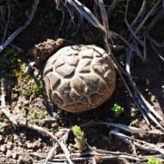 Scleroderma sp. (Earth balls) at Umbagong District Park - 26 Jun 2020 by Caric