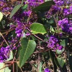 Hardenbergia violacea (False Sarsaparilla) at Monument Hill and Roper Street Corridor - 11 Aug 2020 by Alburyconservationcompany