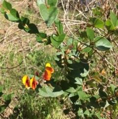 Platylobium formosum (Handsome Flat-pea) at Wodonga - 11 Aug 2020 by Alburyconservationcompany