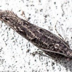 Spilonota-group (A Tortricid moth) at Umbagong District Park - 11 Aug 2020 by Roger