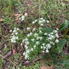 Poranthera corymbosa (Clustered Poranthera) at Ulladulla Wildflower Reserve - 10 Aug 2020 by margotallatt