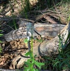 Stackhousia monogyna (Creamy Candles) at Ulladulla Wildflower Reserve - 5 Aug 2020 by margotallatt