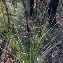 Xanthorrhoea concava (TBC) at Ulladulla Wildflower Reserve - 5 Aug 2020 by margotallatt
