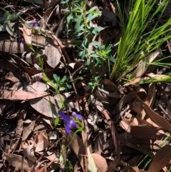Lobelia dentata (TBC) at Ulladulla Wildflower Reserve - 5 Aug 2020 by margotallatt