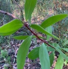 Persoonia levis (Broad-leaved Geebung) at Ulladulla Wildflower Reserve - 5 Aug 2020 by margotallatt