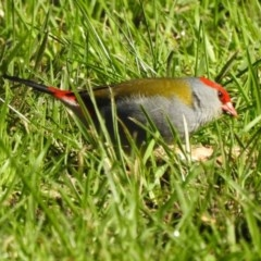 Neochmia temporalis (Red-browed Finch) at Wodonga - 11 Aug 2020 by Michelleco
