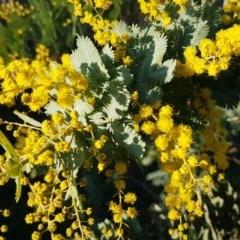 Acacia baileyana (Cootamundra Wattle, Golden Mimosa) at Umbagong District Park - 11 Aug 2020 by tpreston