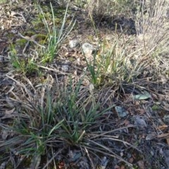 Lomandra longifolia (Spiny-headed Mat-rush, Honey Reed) at Bruce, ACT - 11 Aug 2020 by AndyRussell