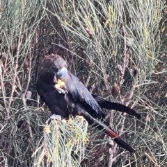 Calyptorhynchus lathami (Glossy Black-cockatoo) at Coomee Nulunga Cultural Walking Track - 11 Aug 2020 by jhotchin