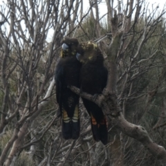Calyptorhynchus lathami at Coomee Nulunga Cultural Walking Track - 11 Aug 2020
