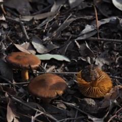 Cortinarius sp. at Umbagong District Park - 18 Jul 2020 by Caric