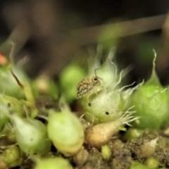 Symphypleona sp. (order) (Globular springtail) at Aranda Bushland - 10 Aug 2020 by CathB