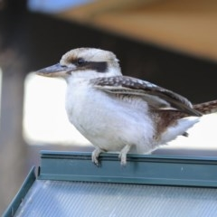 Dacelo novaeguineae (Laughing Kookaburra) at Higgins, ACT - 11 Aug 2020 by Alison Milton