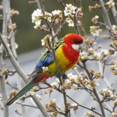 Platycercus eximius (Eastern Rosella) at Wodonga - 9 Aug 2020 by Michelleco