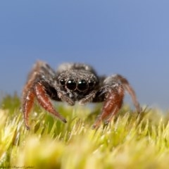 Holoplatys invenusta (Jumping spider) at Macgregor, ACT - 12 Aug 2020 by Roger