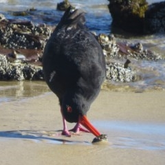 Haematopus fuliginosus (Sooty Oystercatcher) at Bar Beach, Merimbula - 17 Jul 2020 by LizAllen