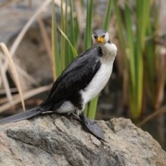 Microcarbo melanoleucos (Little Pied Cormorant) at ANBG - 11 Aug 2020 by RodDeb