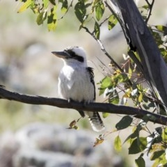 Dacelo novaeguineae (Laughing Kookaburra) at The Pinnacle - 10 Aug 2020 by Alison Milton