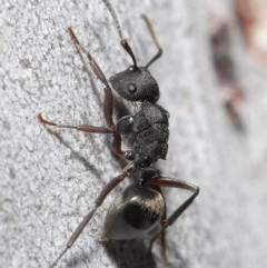 Polyrhachis phryne (A spiny ant) at ANBG - 11 Aug 2020 by TimL