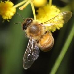 Apis mellifera (European honey bee) at Acton, ACT - 11 Aug 2020 by TimL