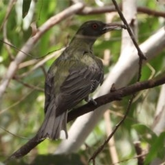 Oriolus sagittatus (Olive-backed Oriole) at Wonga Wetlands - 21 Dec 2019 by WingsToWander