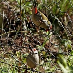 Neochmia temporalis (Red-browed Finch) at Brogo, NSW - 10 Aug 2020 by MaxCampbell