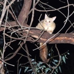 Trichosurus vulpecula (Common Brushtail Possum) at Wodonga - 16 May 2020 by WingsToWander