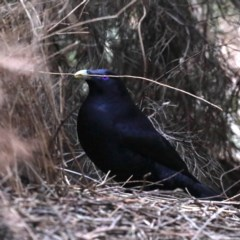 Ptilonorhynchus violaceus (Satin Bowerbird) at ANBG - 11 Aug 2020 by jbromilow50