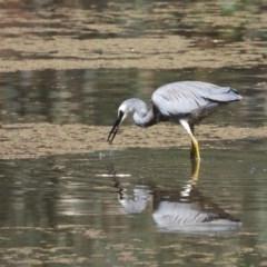 Egretta novaehollandiae (White-faced Heron) at Wonga Wetlands - 24 Jan 2020 by WingsToWander