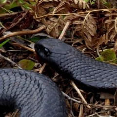 Pseudechis porphyriacus (Red-bellied Black Snake) at Brogo, NSW - 13 Aug 2020 by MaxCampbell