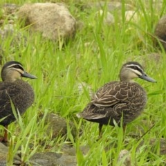 Anas superciliosa (Pacific Black Duck) at West Wodonga, VIC - 13 Aug 2020 by Michelleco