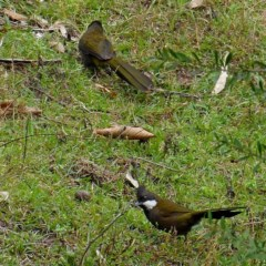 Psophodes olivaceus (Eastern Whipbird) at Brogo, NSW - 13 Aug 2020 by MaxCampbell